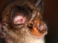 Rhinolophus pusillus