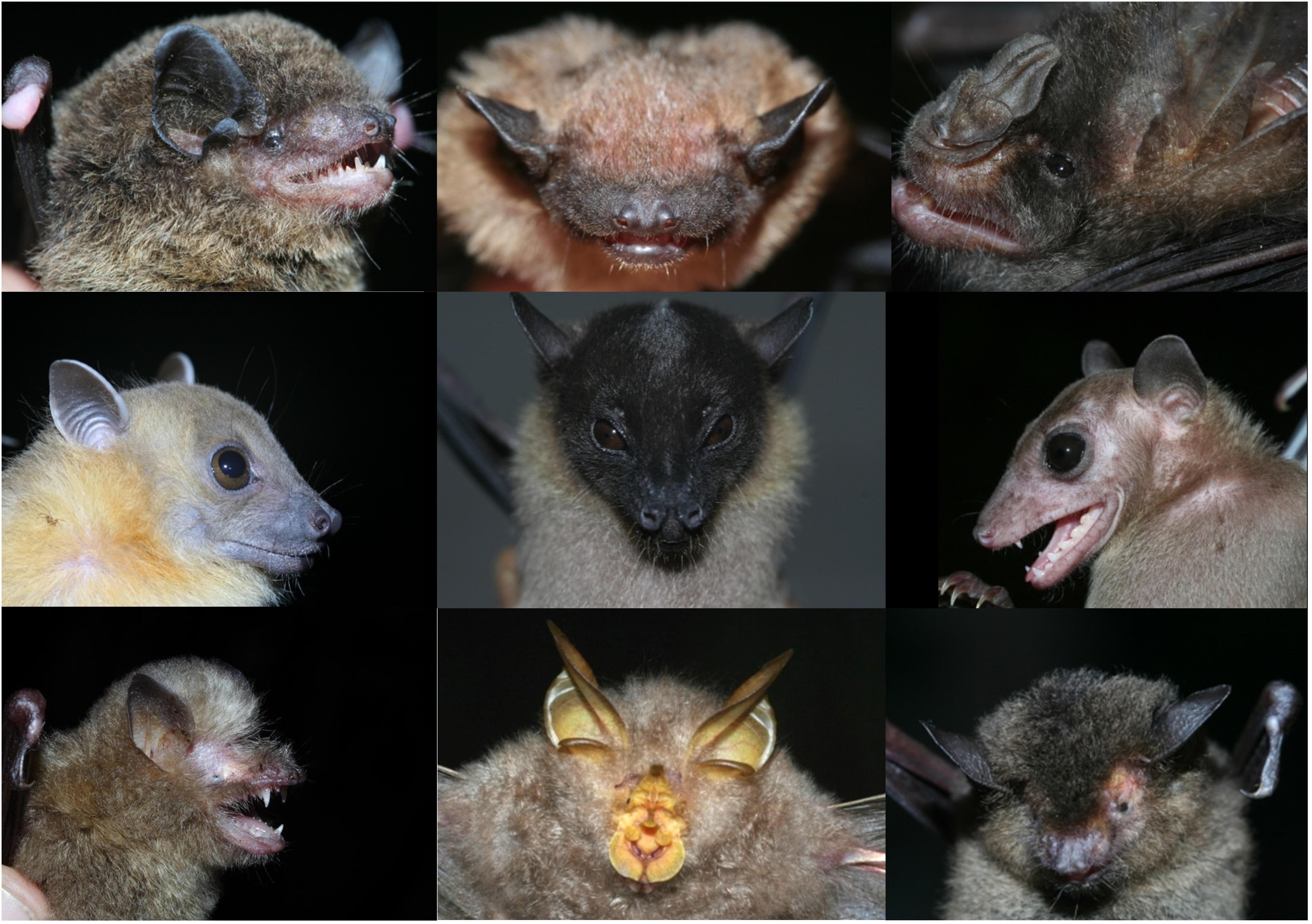Bats From Bukit Barisan Selatan National Park Photo J C Huang