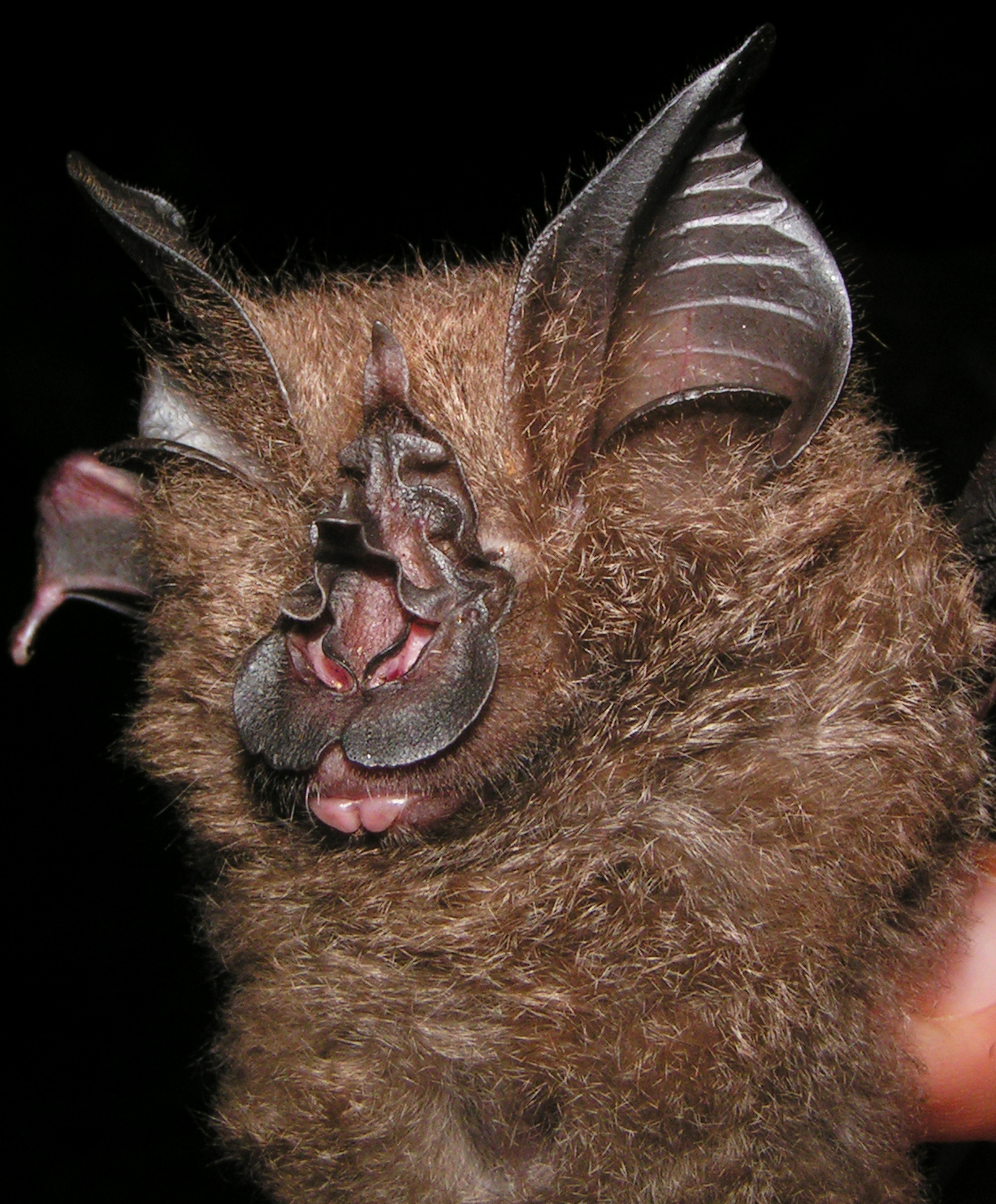 Scientists find a new species of horseshoe bat from Sou…